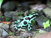 Black And Green Poison Dart Frog CostaRica-1