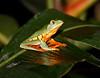 Tree Frog CostaRica-11