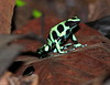 Black And Green Poison Dart Frog CostaRica-5