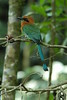 BroadBilledMotMot3