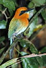 BroadBilledMotMot1 (2)