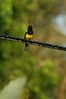 Blackcowledoriole1