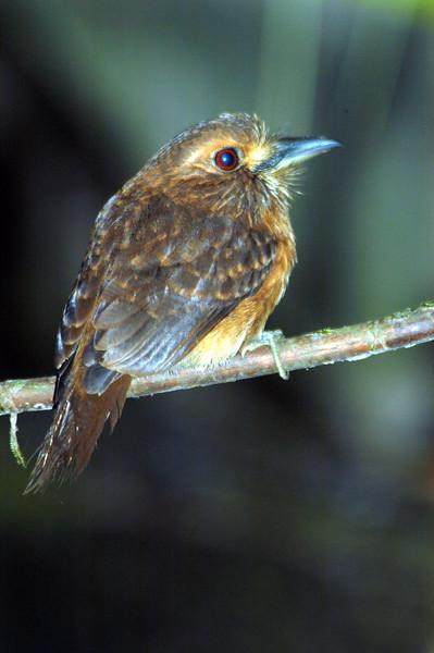 Puffbird2ap