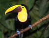Chestnut-mandibled Toucan 7