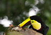 Chestnut-mandibled Toucan 1