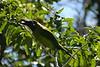 Emerald_Tourcanette_Costa_Rica_2004_0002