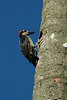 BlackCheekedWoodpecker05