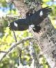 AcornWoodpecker01