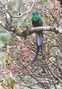 Resplendent Quetzal Sevegre
