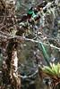 Quetzal11 (2)