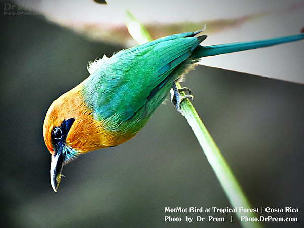 MotMot Bird Costa Rica Photo by Dr Prem