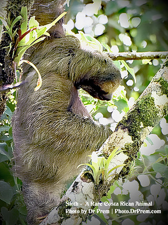 Sloth at Costa Rica by Dr Prem