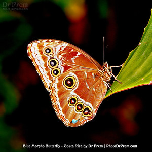 Blue Morpho at Costa Rica by Dr Prem