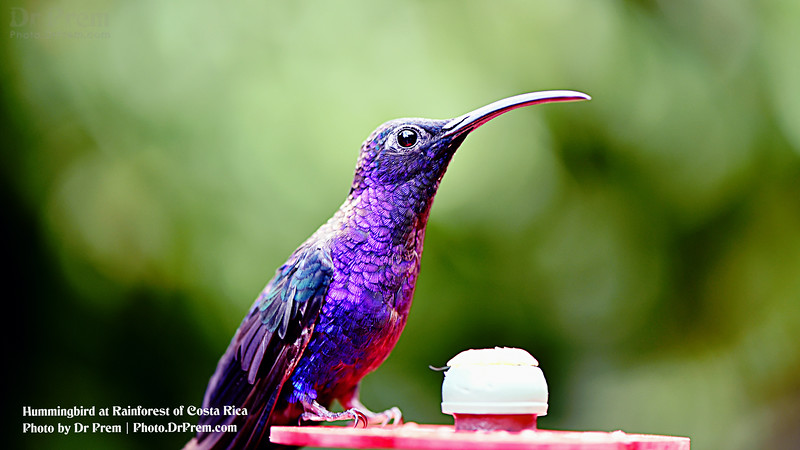 Hummigbird at Costa Rica by Dr Prem