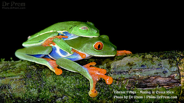 Vibrant Frogs Mating in Costa Rica