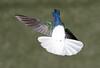 White-necked Jacobin