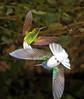 Coppery-headed Emerald & White-necked Jacobin
