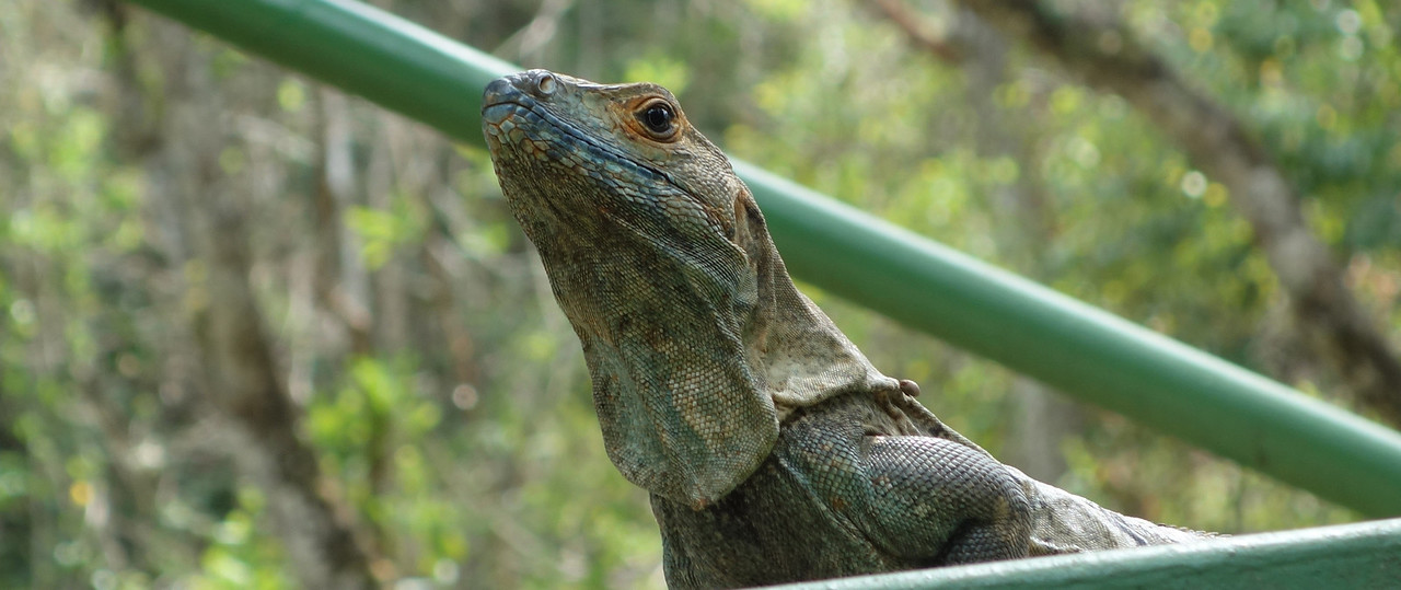 Guard Lizard