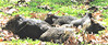 Six Collard Peccaries Sunning On Grass Outside The Cabin  - La Selva