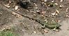 Green Iguana Female Under Bridge By River  - La Selva