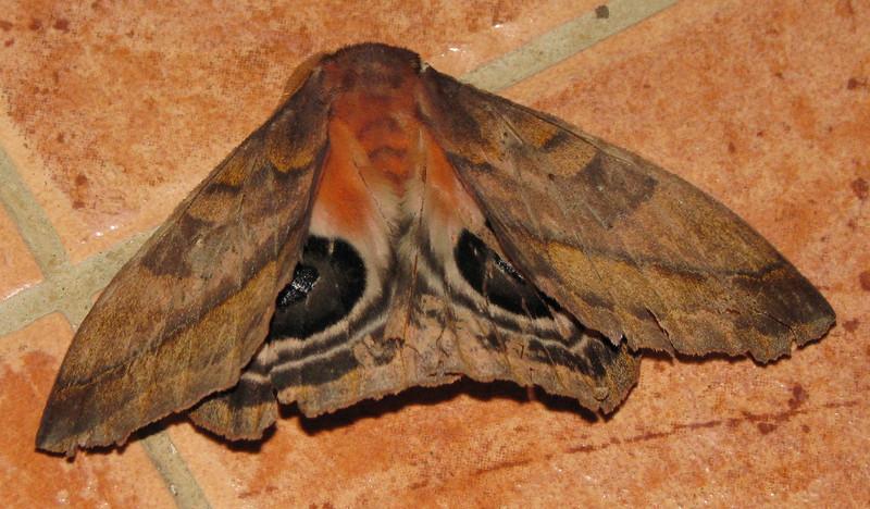 Moth On Pavement At Conference Center  - La Selva