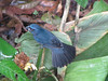 Blue Grosbeak  - La Selva