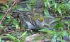 Chestnut-sided Warbler Taking Bath In Rain Puddle  - La Selva