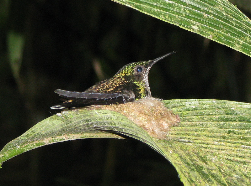 White-Necked Jacobin Hummingbird On Nest  - La Selva