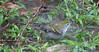 Chestnut-sided Warbler (Setophaga pensylvanica) Taking Bath In Rainforest Puddle  - La Selva