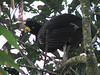 Great Curassow Male In Tree  - La Selva