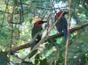 Rufous Motmots  - La Selva