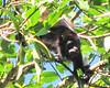 Howler Monkey  - La Selva