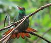 Rufous-tailed Hummingbird  - La Selva