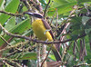 Boat-billed Flycatcher  - La Selva