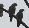 Red-lored Parrots  - La Selva