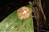 White-Necked Jacobin Hummingbird Nest With Two Eggs  - La Selva