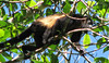 Good View of Why They Are Called 'Mantled' Howler Monkeys  - La Selva