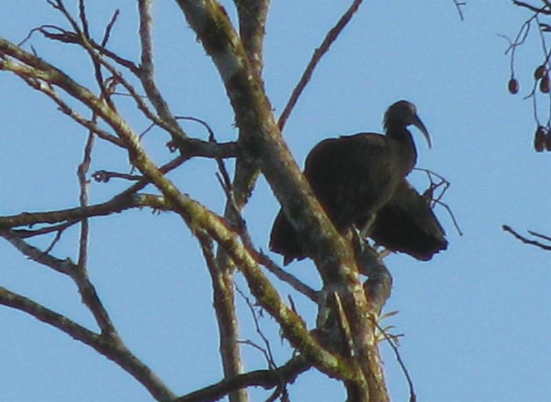 Green Ibis  - La Selva