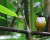 White-collared Manakin  - La Selva