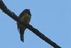 Violaceous Trogon  - La Selva
