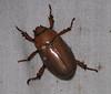 Beetle  - La Selva