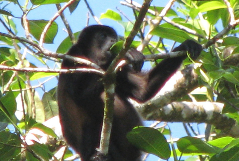 Howler Monkey Eating a Leaf - Mainstay Of Their Diet  - La Selva