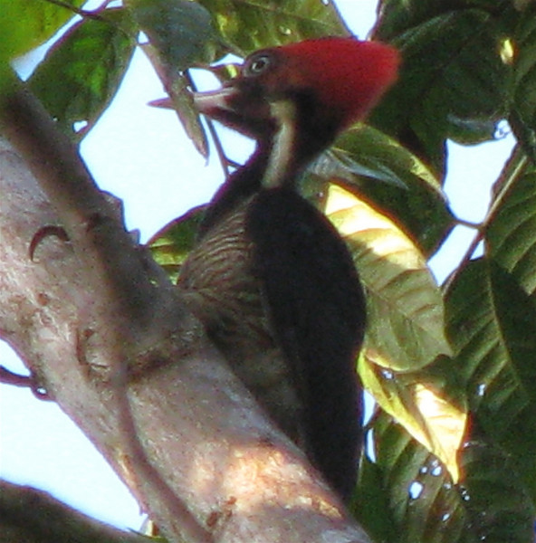 Lineated Woodpecker  - La Selva