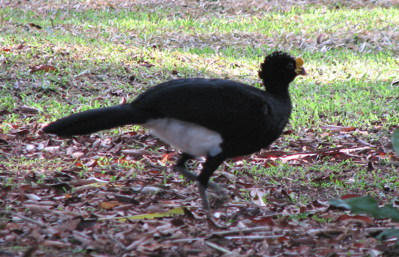Great Curassow Male On Ground  - La Selva
