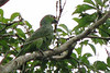 Red-lored Parrot  - La Selva