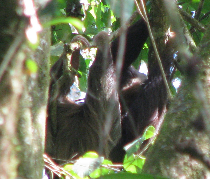 Can You See The Brown-throated Three-toed Sloth  - La Selva