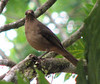 Clay-colored Robin  - La Selva