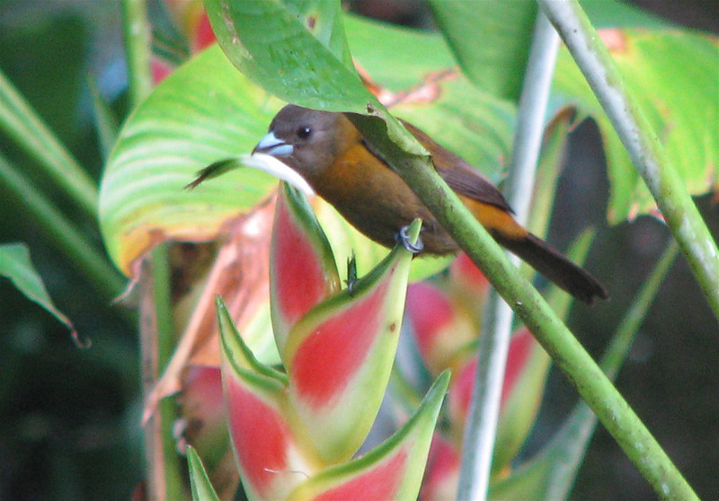 Female Scarlet-rumped Tanager  - La Selva