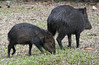 Mom and Baby Collared Peccary  - La Selva