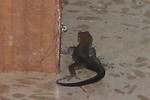 Lizard Visiting My Room One Afternoon  - La Selva